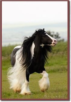 Gypsy Horse are my most favorite horse in the world...I love them so much!