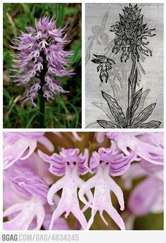 Orchis italica. cool flower....