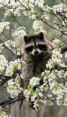 Springtime raccoon.