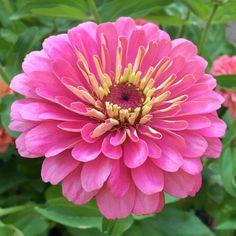 Zinnia Seeds - 116 Zinnias - Huge Selection of Annual Flower Seeds Plants, Foliage, Seeds, Pink Flowers, Beautiful Flowers, Flowers, Annual Flowers, Zinnias, Flower Seeds
