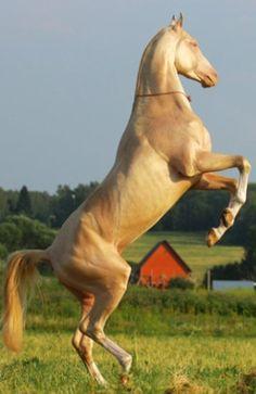 Akhal-Teke stallion Ак Гёз (Ak Goz)  #Nadir horse