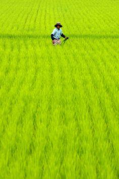 日本の田んぼ Le Monde Green Colors Anese