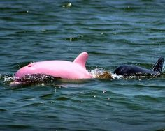 """Nicknamed """"Pinky, """" this dolphin, spotted by a Louisiana boat captain, was swimming with a group of bottlenose dolphins in Lake Calcasieu, an inland saltwater estuary north of the Gulf of Mexico. This dolphin is entirely pink in skin & eyes, not to be confused with the White Dolphins discovered in the Amazon River, an entirely different species."""