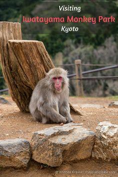 travelyesplease.com | Visiting Iwatayama Monkey Park in Kyoto (Blog Post) | Arashiyama Monkey Park Iwatayama- Kyoto, Japan