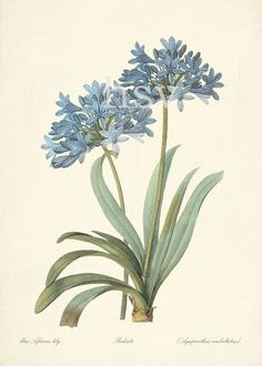 Blue African Lily - Redoute Botanical Wall Decor Print 5x7. $14.00, via Etsy.