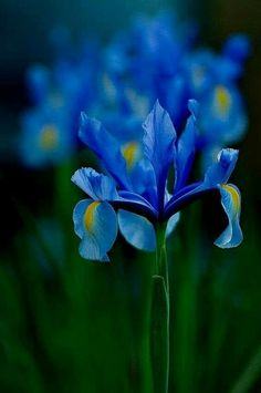 15 Most Popular Flowers in the World Delphinium Plant, Blue Delphinium, Flowers Perennials, Planting Flowers, Blue Iris Flowers, Most Popular Flowers, Language Of Flowers, Blue Garden, Spring Blooms