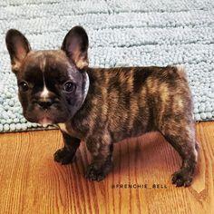 Pascal, the French Bulldog