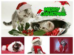Christmas Kitten, Grinch, Cats, Animals, Gatos, Animales, Animaux, Animal, Cat
