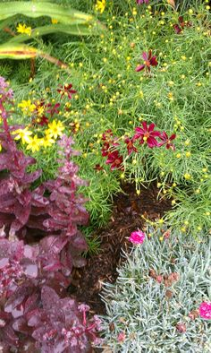 July 9; Sedum 'Purple Emperor' (stonecrop), Coreopsis verticillata 'Zagreb'  (tickseed), Coreopsis 'Red Satin' (tickseed), Dianthus 'Maraschino Cherry' (pinks)