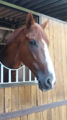 castrone di 7 anni Pets 3, Horses, Animals, Animales, Animaux, Animal, Animais, Horse