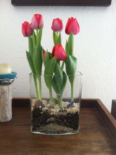 Cam vazoda lale soğanları