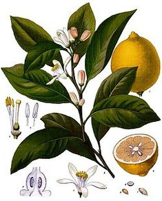 Lemon illustrated taxonomy from Wikipedia, the free encyclopedia