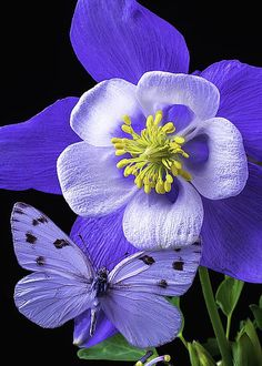 Columbine With White Butterfly Butterfly Pictures, Butterfly Flowers, Beautiful Butterflies, Purple Flowers, Beautiful Flowers, Elegant Flowers, Purple Butterfly, Color Lila, All Things Purple