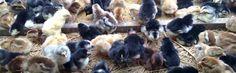 Kami Bongkar Rahasia Sukses Ternak Ayam Kampung