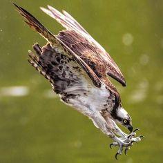 Osprey on the Hunt ~ Photo: Kurt Wecker/Audubon Photography Awards Pretty Birds, Love Birds, Beautiful Birds, Animals Beautiful, Wildlife Photography, Animal Photography, Photography Awards, Nature Animals, Animals And Pets