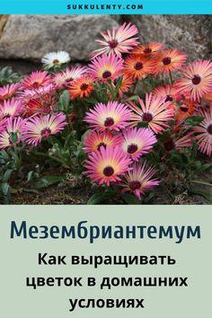 Особенности удивительного суккулента Мезембриантемум. Тонкости выращивания растения в домашних условиях. #суккуленты Plants, Plant, Planets