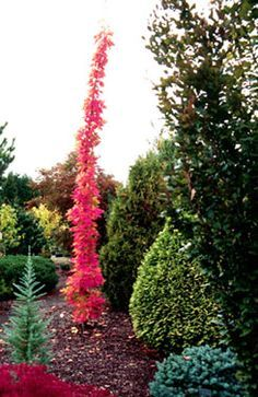 `Newton Sentry' - Stanley and Sons Nursery Columnar Trees, Deciduous Trees, Trees And Shrubs, Trees To Plant, Dwarf Trees, Garden Shrubs, Garden Trees, Garden Plants, Outdoor Landscaping