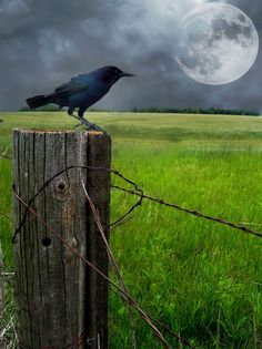 "The Guardian Crow (Raven)- Dan's Native American Totem: Sep 22 - Oct 22 Believed to be the keepers of the ""sacred law"""