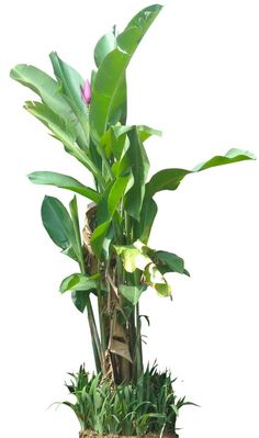 Tropical Plant Pictures: Evergreen trees: