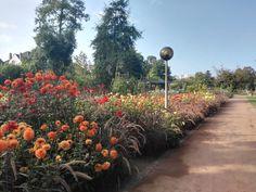 Im Rosengarten Zweibrücken blühen gerade die Dahlien. Gemütlich sitzend auf den Bänken unter den Viktorianischen Lauben von Classic Garden Elements kann man die harmonische Kombination dieser Knollen-Pflanzen in feurigen Farben mit blühenden Gräsern betrachten...