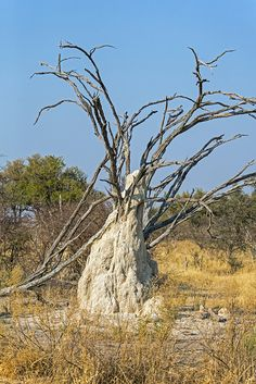 Termite Mound, Chitabe Camp, Okavango Delta, Botswana
