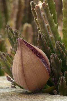 The Stapelia is a genus of low-growing, spineless, stem succulent plants.  Most Stapelia flowers are visibly hairy and generate the odour of rotten flesh to attract various pollinators including blow flies.   Another common name for the Stapelia is the carrion flower.