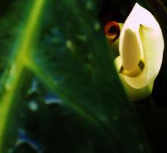 """Alocasia en plena floración.  La también conocida como """"oreja de elefante"""" produce flores espectaculares: muy bellas y tan grandes como sus hojas."""
