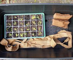 How to grow plants with worm tea Aquaponics Kit, Hydroponic Farming, Hydroponic Growing, Growing Plants, Aquaponics Garden, Organic Hydroponics, Wicking Beds, Grow Lamps, Compost Tea
