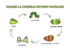 "Le cycle de vie du papillon avec les images du livre ""la chenille qui fait des trous"" d'Eric Carle Classe de petite section de maternelle Eric Carle, Kindergarten Science, Teaching Science, Preschool, May Activity, Teachers Aide, Very Hungry Caterpillar, Bugs And Insects, Book Themes"