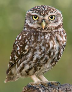 Little Owl (Athene noctua) is the specific species of owl associated with Athena.