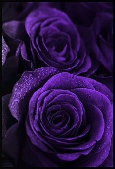Purple roses.   So very deep in color purple. Like to see these in a floral bouquet with white flowers.