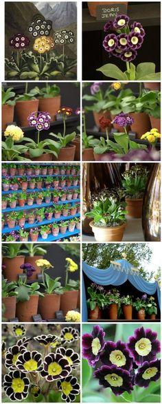 Make an Auricula (Primula) Garden Theater