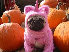 The mythical Pug-icorn was spotted in a local pumpkin patch.