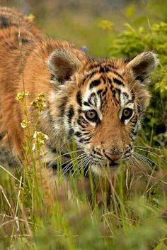 cute tiget
