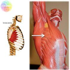 여의도 교정 - 어깨 관절의 가동범위 제한 예방 및 치료 스트레칭 No.4자가 마사지, 전거근 마사지 오늘 ... rib muscle