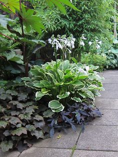 Lovely combination of hosta in the middle, heuchera on the left, and a black ornamental sweet potato vine in the front right.