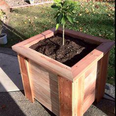 My Satsuma Owari Mandarin Tree In A Planter Box Original By The