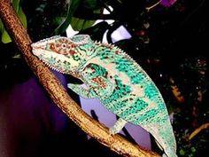 Ambilobe Panther chameleons for sale online, buy baby ambilobe panther chameleon for sale online panther chameleon breeder baby panther chameleon for sale. Chameleons For Sale, Baby Panther, Chameleon Pet, Pets, Animals, Animales, Animaux, Animal, Animais