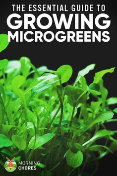 Microgreens are smaller plants that are an excellent source of nutrients and enzymes. In this guide, we'll show you how to grow microgreens.