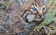 WIDE-EYED AND WHISKERED BABY BOBCATS BY CRYSTAL F. LAMBERT  The Simi Hills in Southern California were recently blessed with two very furry baby girls! Welcome bobcat kittens B326 and B327.