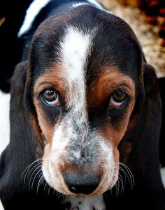 Basset Hound by Effex Photography, via Flickr