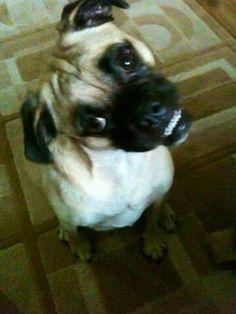 Smiley puggle Rex