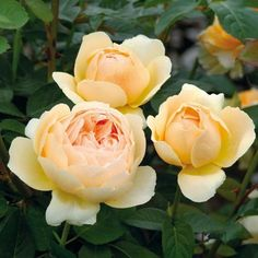 Jude the Obscure - Most Fragrant English Roses - Fragrant Roses