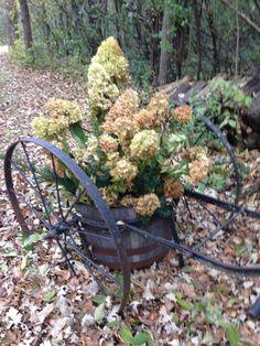 Limelight hydrangeas in old slop cart