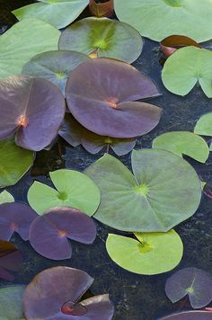 Memories of Bartlett Pond and my grandparents.  Grandpa had a yellow, rubber dinghy that we'd bring to the pond.  Excitedly, we'd row out and gently touch the lily pads. Nature Plants, Pond Plants, Lily Pond, Lotus Flower, Flower Art, Lotus Leaves, Plant Leaves, Garden Pond, Water Garden