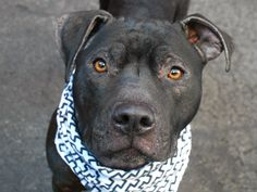 A1071017_Larry1...MALE, BLACK / WHITE, AM PIT BULL TER MIX, 3 yrs STRAY – STRAY WAIT, NO HOLD Reason STRAY Intake condition UNSPECIFIE Intake Date 04/21/2016, From NY 10469, DueOut Date04/24/2016