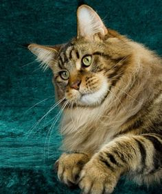 Best of International Brown (Black) Classic Tabby Maine Coon
