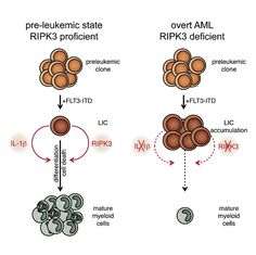 Previously unknown cell-death pathway mapped in leukemia cells.