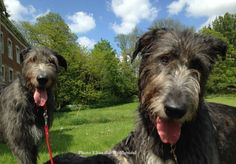 elias-the-wolfhound: This sunday at the castle.Medwynn and his sister MyrtlePhoto by Elias the Wolfhound