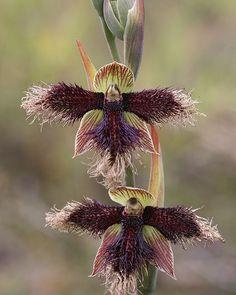 Mutant Beard Orchid
